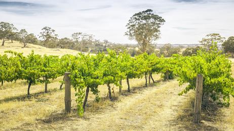 Récolte de vin 2013 en Australie