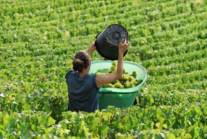 Les Vendanges En Champagne Revues à La Baisse