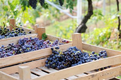 Les Vignobles Bordelais Produiront Moins En 2013