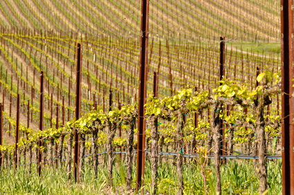 Les vignes californiennes sont en proie à la sécheresse