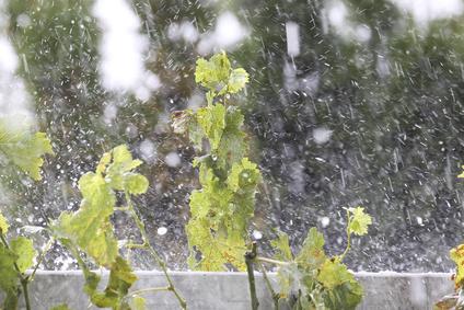 La grêle abîme une partie des vignes de Bourgogne