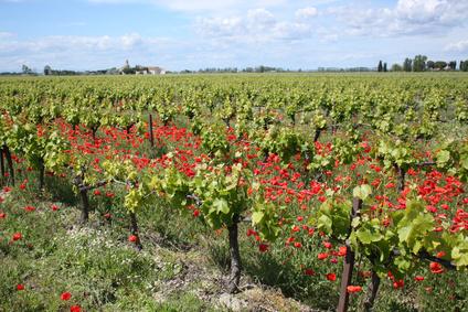La biodynamie : avenir de la culture du champagne en France ?