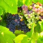 La diversité des raisins est de plus en plus faible