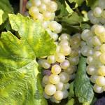 Vendange Champagne : la récolte maximum autorisée au plus bas
