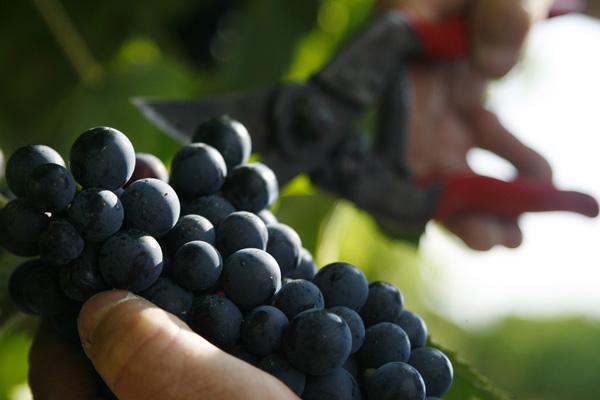 Les vendanges à Bordeaux commencent